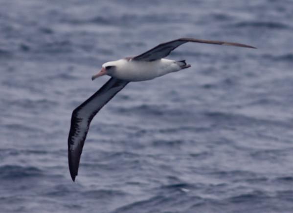 Laysen Albatross