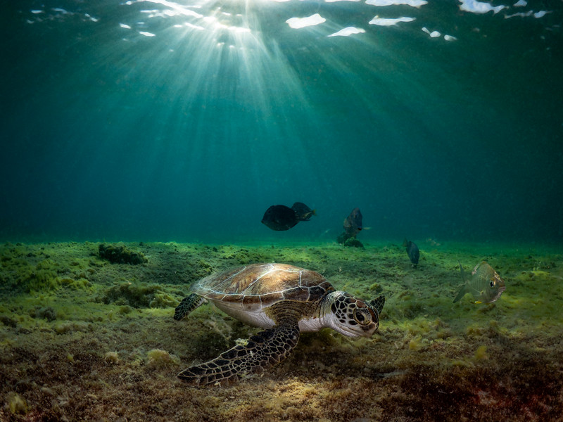 Sunburst Turtle