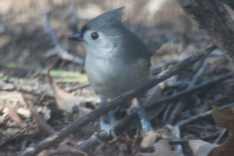 Tufted titmouse from residential living room.