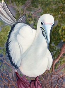 Red-fotted Booby II