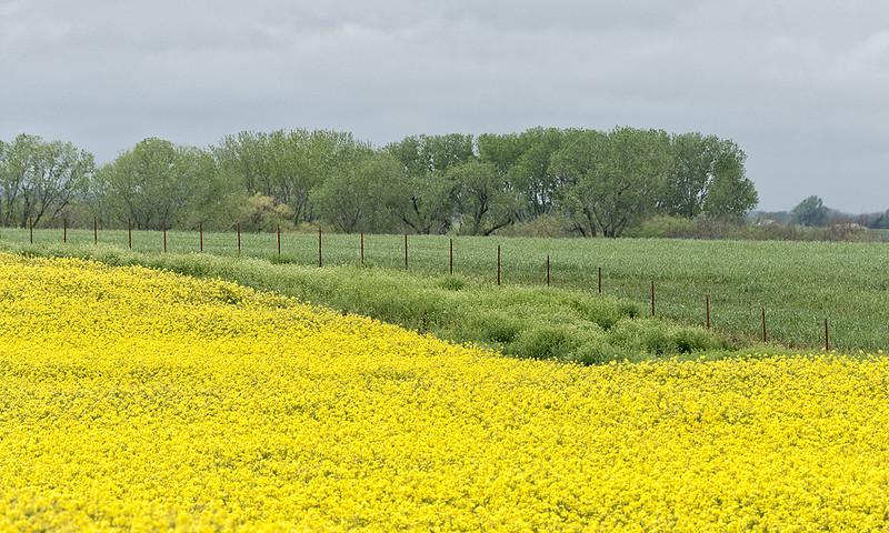 Canola Crop, Kiowa, Kansas