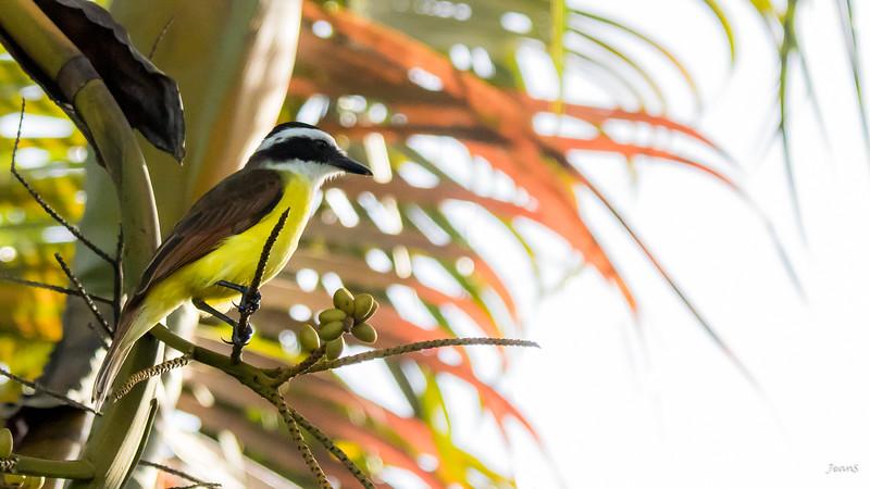 Oiseau - Tyran quiquivi _MG_2575-2.jpg