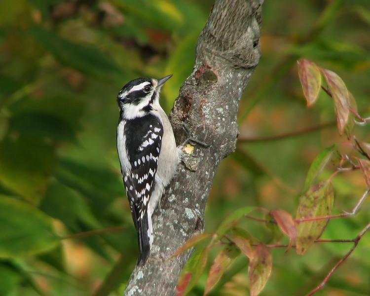 downey_woodpecker_2746.jpg