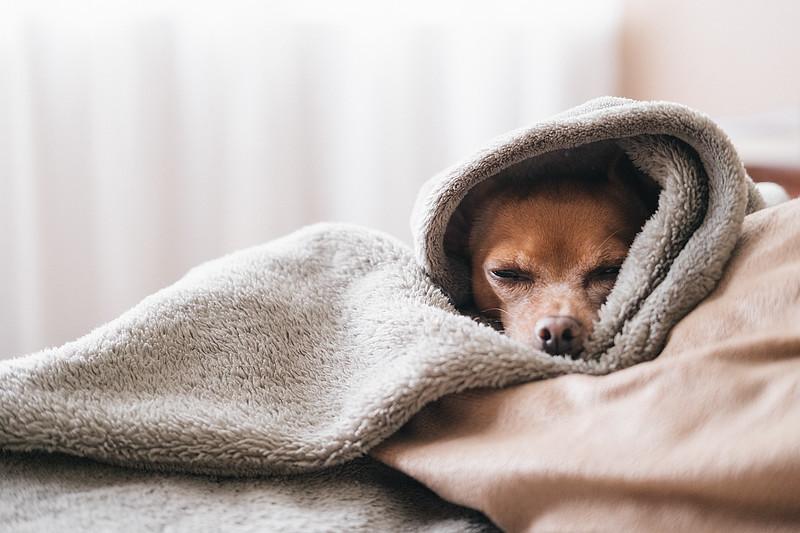 sleeping-chihuahua.jpg