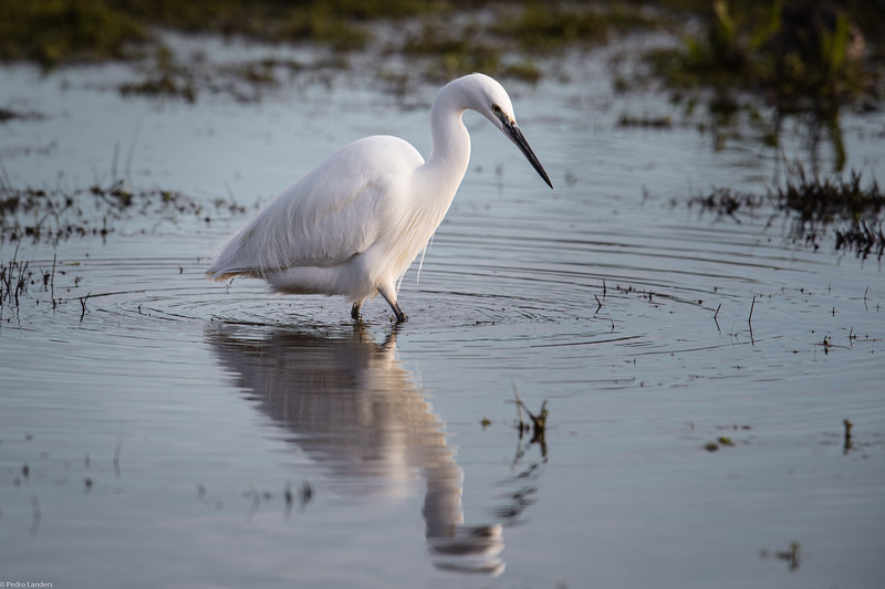 Egret Reflected