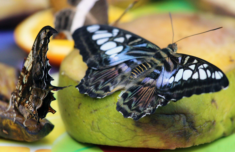 Two butterflies dining