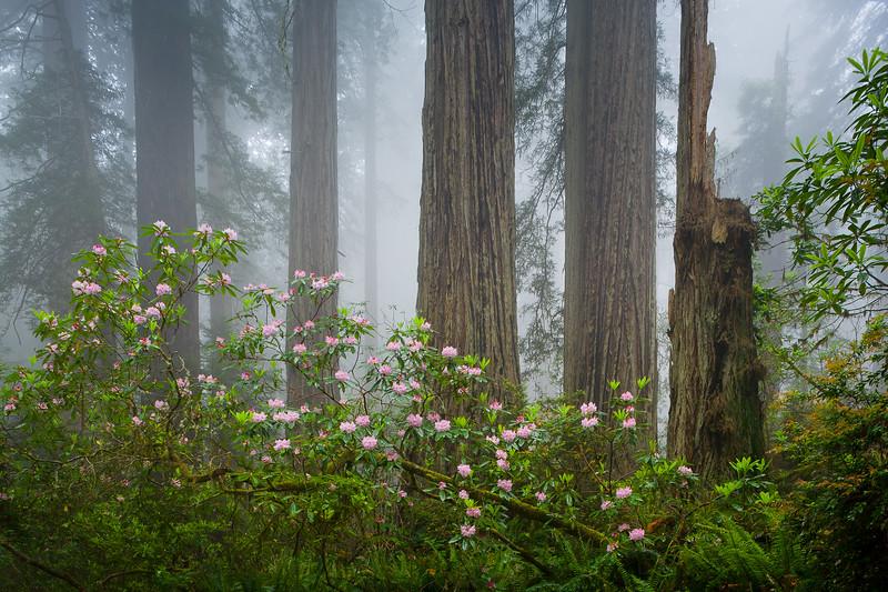 'Forest Elegance' - Redwoods National Park, California