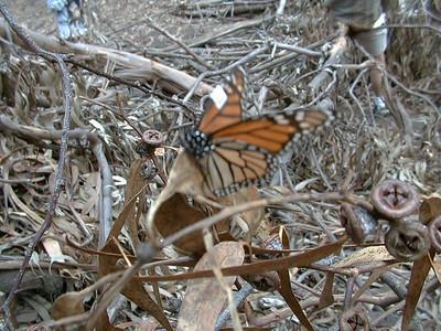 Elwood butterflies