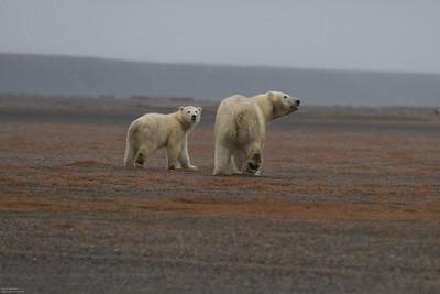Kaktovik Polar Bears