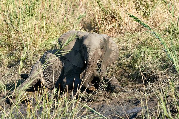 Elephant In Mud MalaMala South Africa 2019