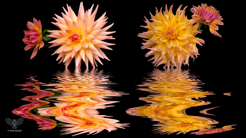 Dahlia reflections