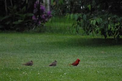 Cardinal Family...The Evening Worm Hop!