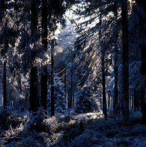 Frost-covered forest