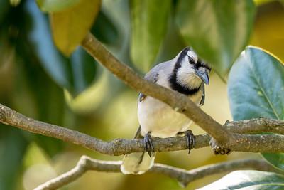 2020 04 Nashville Birds