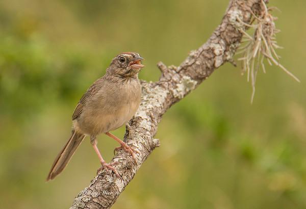Rufous-crowned Sparrow TR_DWL7347.jpg