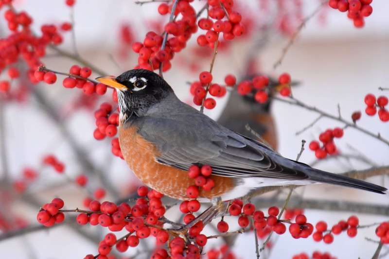 #1260  American Robin amidst Winterberries