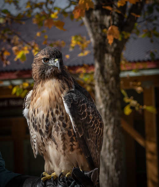 _5004811 Red-tailed Hawk at VINS.jpg