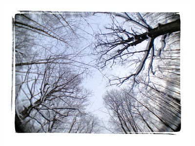 Winter Walk, Winter Maples.