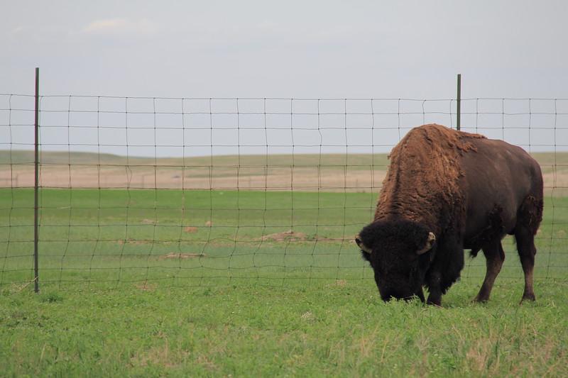 20140523-179-BadlandsNP-PrairieDogsBison.JPG