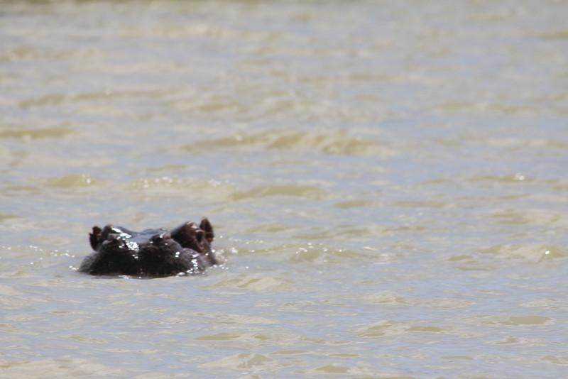 hippo in Lake Tana