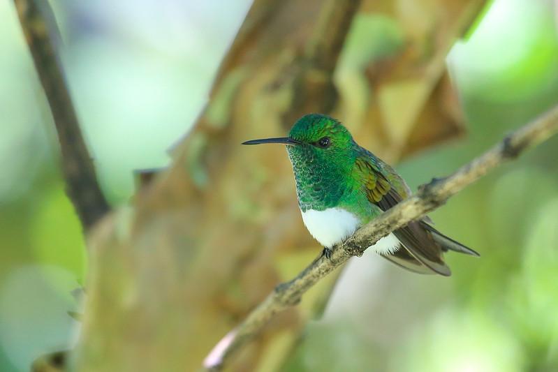 Snowy-bellied Hummingbird (Amazilia edward)