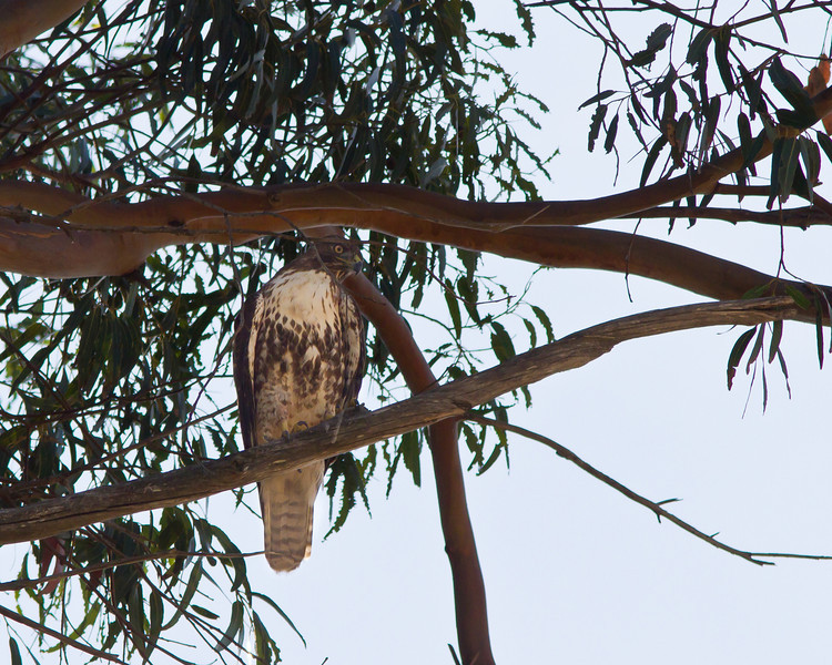Red-tailed hawk in eucalyptus tree on Frairmont Ridge.