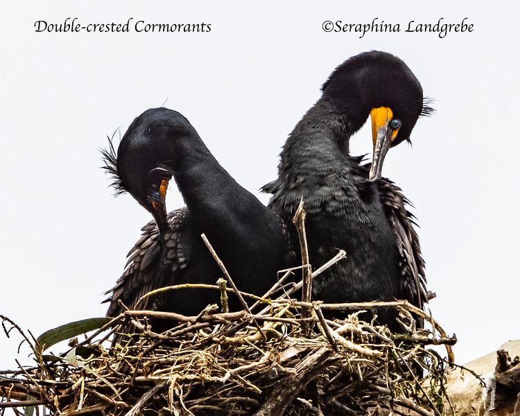 _DSC0316Double-crested Cormorants.jpg