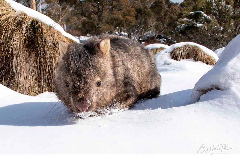 Wombat Aug 10 the one_1.jpg