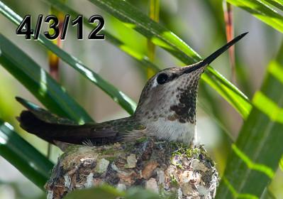Hummingbird Babies 2012