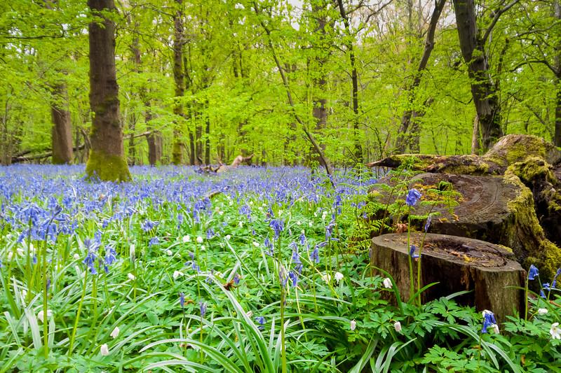 bluebellwoods-6.jpg