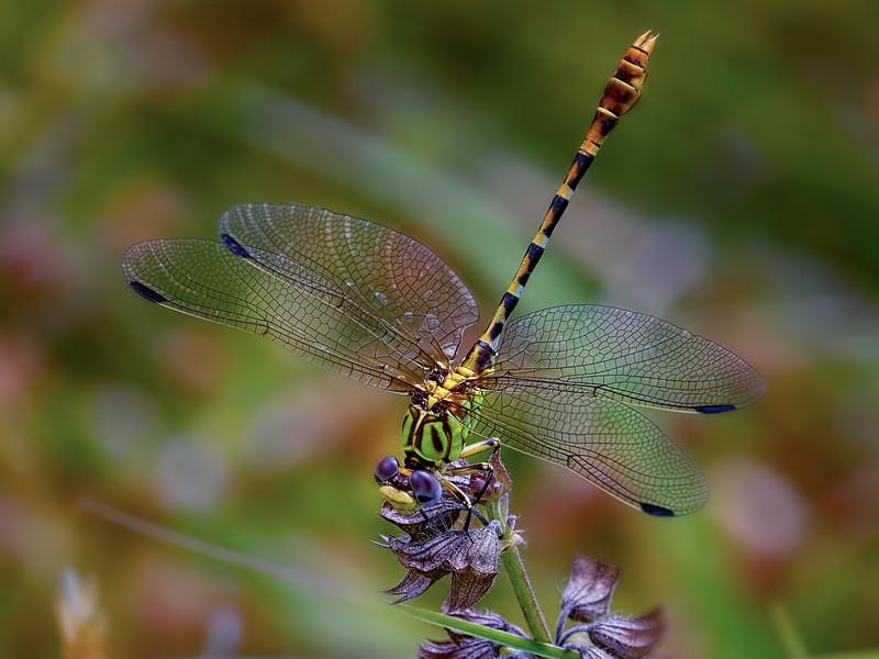 Eastern Ringtail (Erpetogomphus designatus), Male