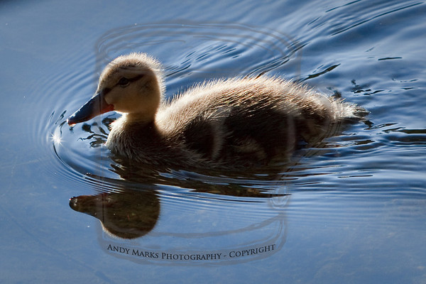 Ducks, Geese, Pelican