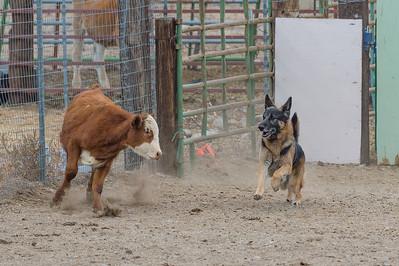 Cattle 4 - Open