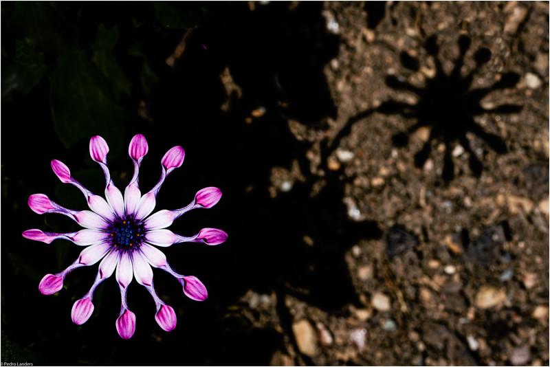 Osteospermum 'Whirligig'