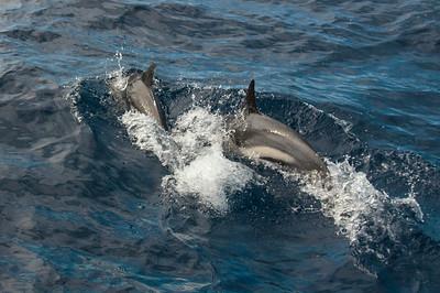 Faial Dolphins