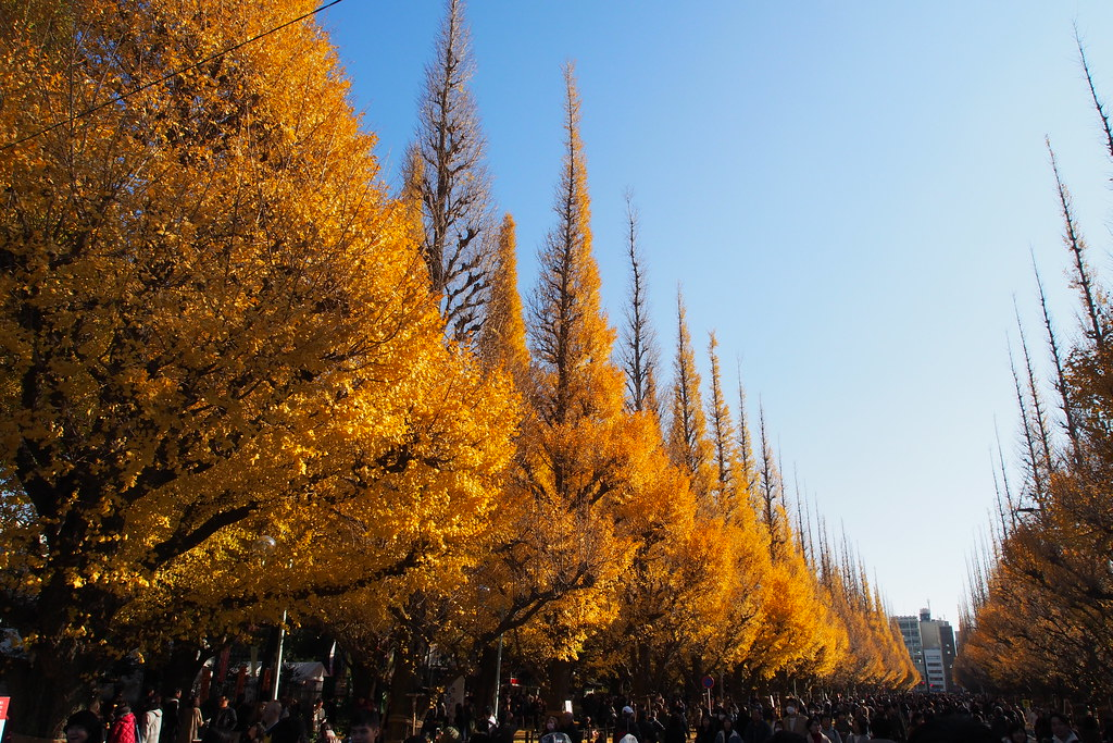 Gingko trees along Icho Namiki-dori.