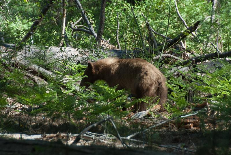 Bear at the Yosemite National Park, California