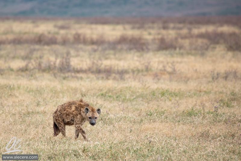 Hyenas in the fields of Ngorongoro