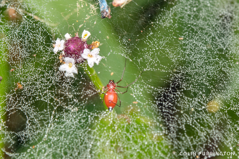 Black-tailed red sheetweb spider
