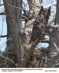 Great Horned Owls F&N89555 .jpg