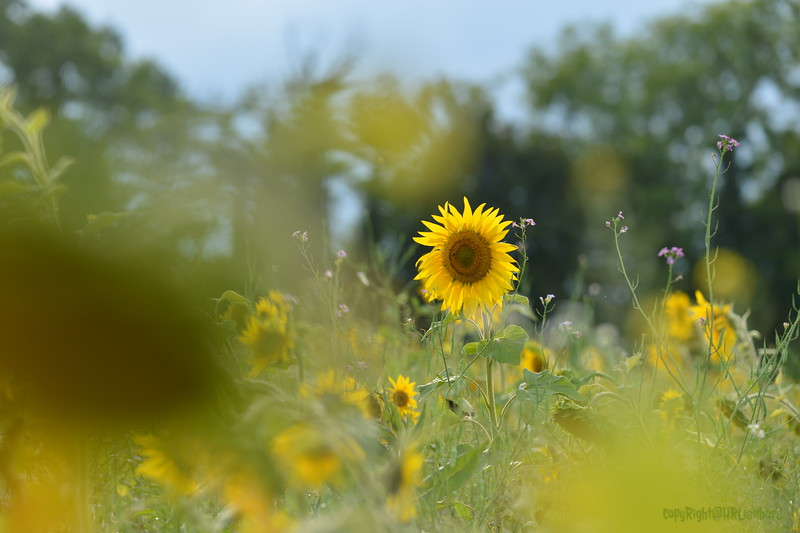 Sunflower Lonay_20092020 (30).JPG