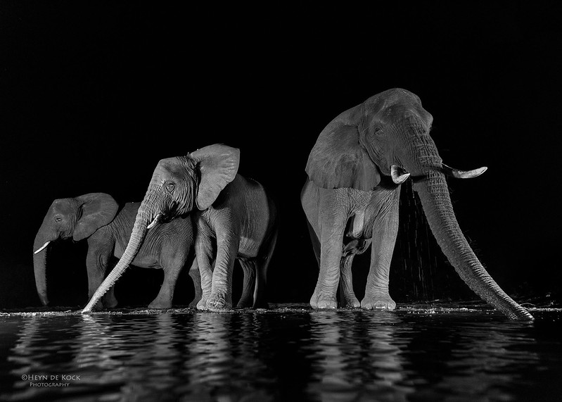 African Elephant, b&w, Zimanga, South Africa, May 2017-3.jpg