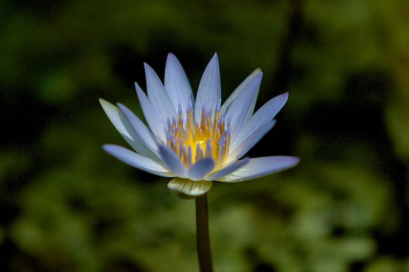 Lavendar Water Lily
