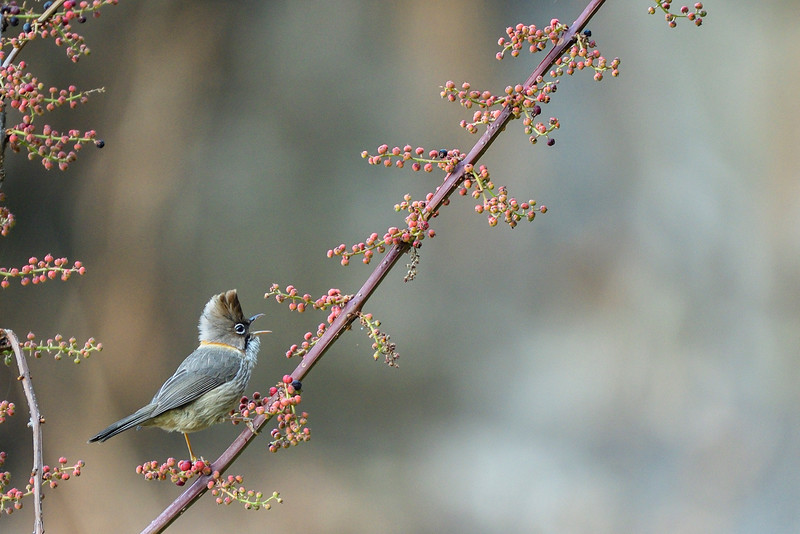 Whiskered-Yuhina-berries.jpg