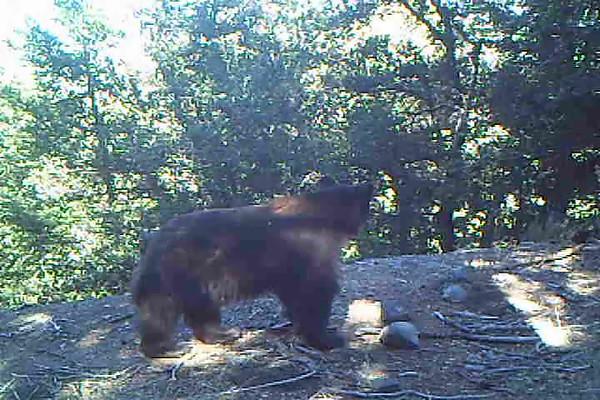 Black Bear (ursus)