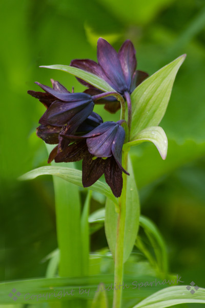 Chocolate Lilies - Judith Sparhawk