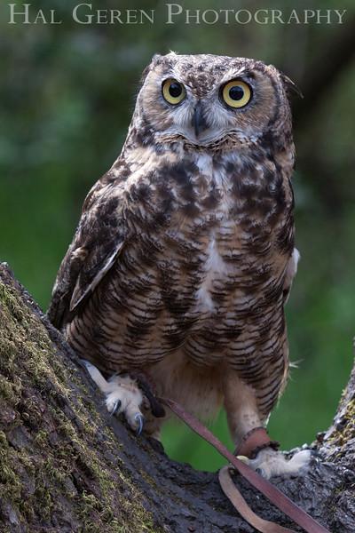 Great Horned Owl Hayward, California 1303S-GHO8