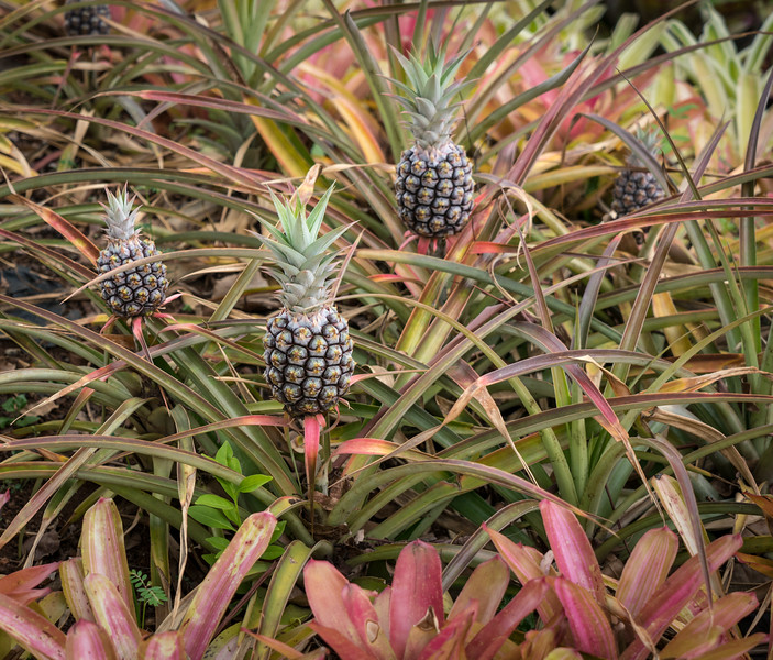 Young pineapples in the entrance flowerbed