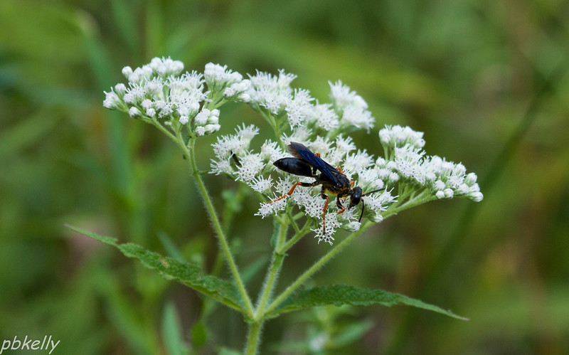 08/29.  CSW.  Katydid Wasp on Boneset.  Like the Blue cast to the wings with the orange legs.