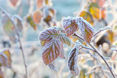Frost covered bramble leaves
